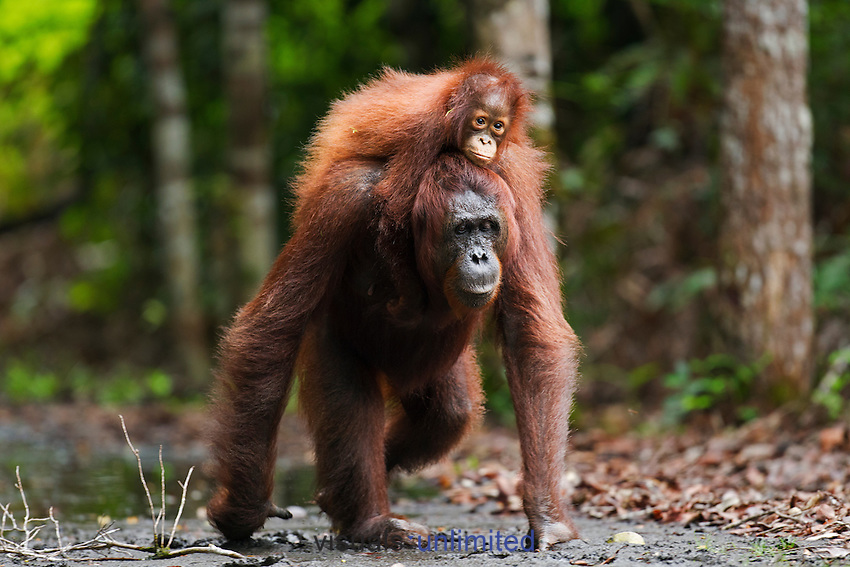 Bornean Orangutan female 'Princess' walking along a trail carrying her daughter 'Putri' aged 2 years on her back